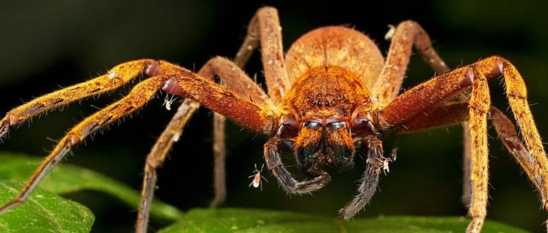 Spider Paraponera clavat